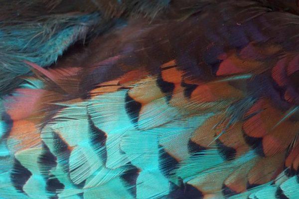 Pheasabou kingfisher Blue-vliegbinden-chevron-venlo