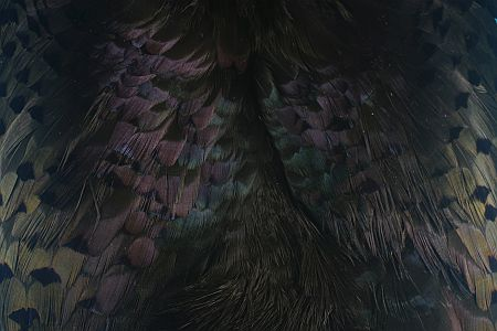 Pheasebou Black 1000vliegen.nl