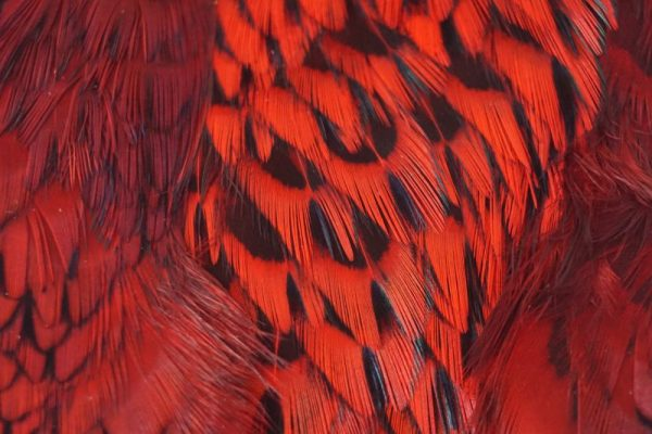 cock-pheasant-cape-red-natte vliegen-nymphen-vliegbinden-chevron hackles-venlo