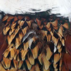 cock-pheasant-cape-natural-natte vliegen-nymphen-vliegbinden-chevron hackles-venlo