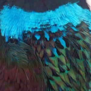 cock-pheasant-cape-kingfisher blue-natte vliegen-nymphen-vliegbinden-chevron hackles-venlo
