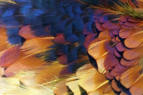 Pheasabou-yellow -vliegbinden-chevron-fazant-venlo