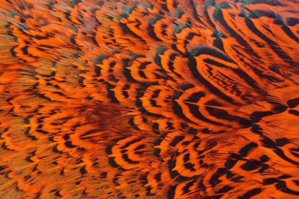 cock-pheasant-rump-patch-hot orange-fibers-hackles-chevron-vliegbinden-venlo