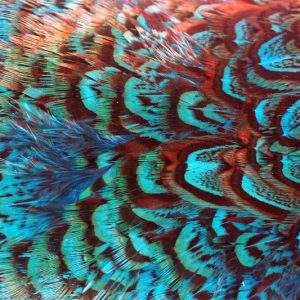 cock-pheasant-rump-patch-kingfisher-blue-fibers-hackles-chevron-vliegbinden-venlo