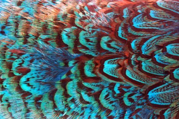 cock-pheasant-rump-patch-kingfisher-blue-fibers-hackles-chevron-vliegbinden-venlo