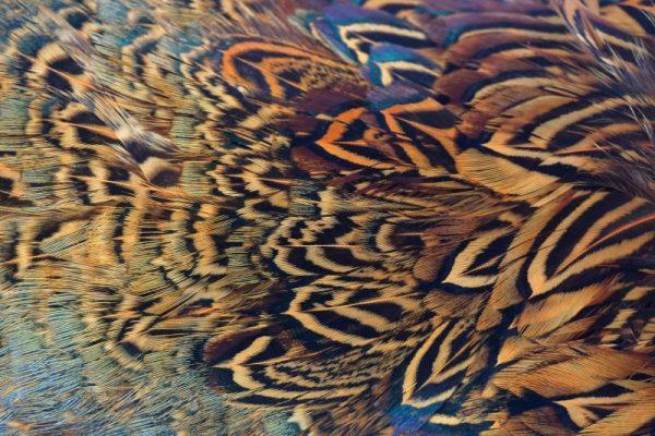 cock-pheasant-rump-patch-sunburst-fibers-hackles-chevron-vliegbinden-venlo